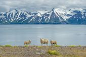 Icelandic sheep over beautiful panorama with snow mountains poster