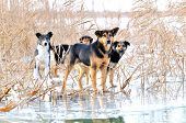 dogs on frosty lake in winter poster