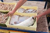 fisherman with crates of freshly caught fish and crustaceans: sole turbot seabass mantis shrimp poster