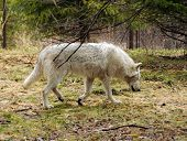 Grey wolf in its natural wilderness environment poster