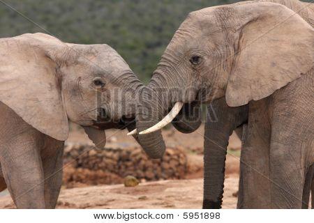 African Elephant Greeting