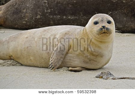 Resting on the beach sand is a white inquisitive sea lion. poster