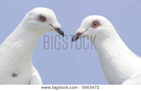 Couple of white doves look at each other poster