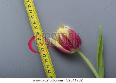 a tulip with a measure