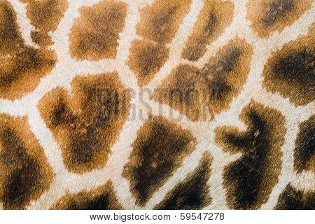 Giraffe Spots Furry Skin Background