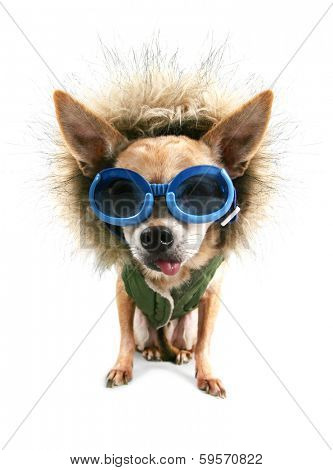 a cute chihuahua with a winter coat and goggles on poster
