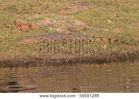 wildlife crocodile camouflaged at river side. See my other works in portfolio. poster