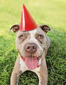 a pit bull terrier with a red party hat on  poster