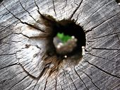 Hollow in a dead wood poster