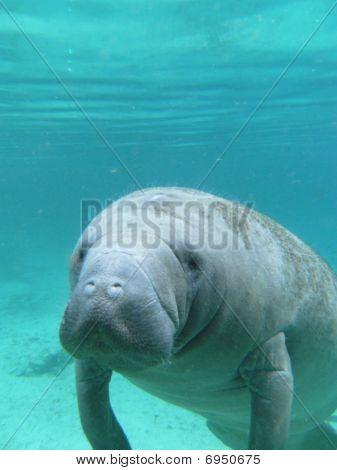 West Indian Manatee Underwater