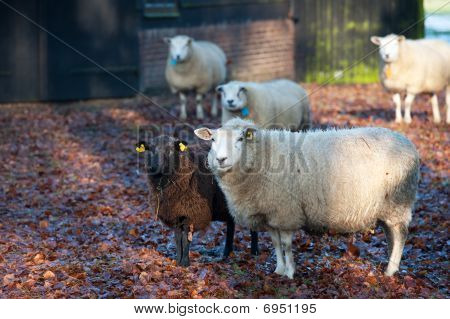 Sheep Outdoor