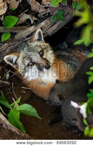 Grey Fox Vixen (urocyon Cinereoargenteus) Lies In Den With Her Kits