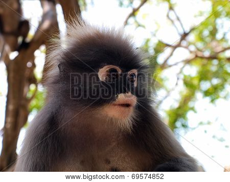 Spectacled Langur (trachypithecus Obscurus) Close-up