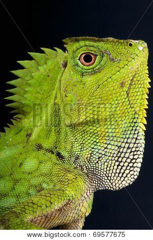 Chameleon agama / Gonocephalus chamaeleontinus