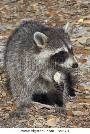 Raccoon Eathing Potato Chip