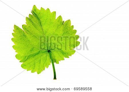 Single Vine Leaf (Vitis Vinifera)