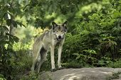 A timber wolf in a forest environment poster