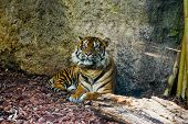 Male Sumatran Tiger resting in the shade. poster