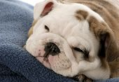 nine week old english bulldog puppy sleeping on blue blanket poster