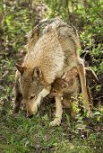 Grey Wolf (Canis lupus) and Pup - captive animal poster
