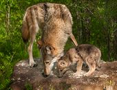 Grey Wolf (Canis lupus) and Pup Sniff Atop Rock - captive animals poster