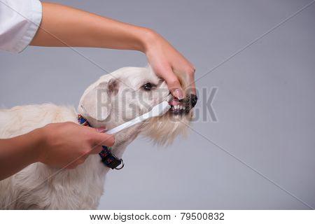 Female veterinarian examines little dog teeth