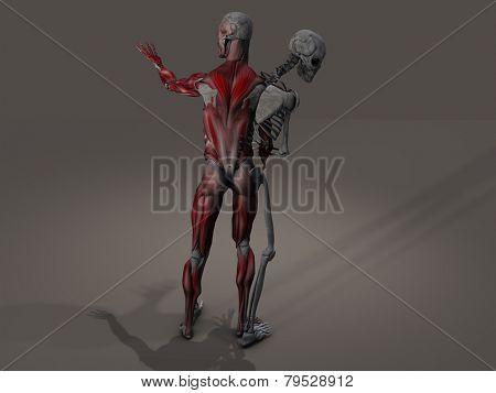 Inner skeleton and musculature man divide