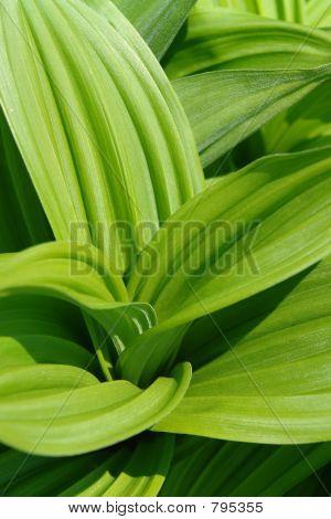 greea leaves