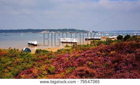 Purple heather with view to Brownsea Island Poole Harbour Dorset England UK
