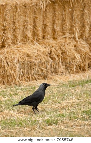 avian rook on a background of straw bales poster