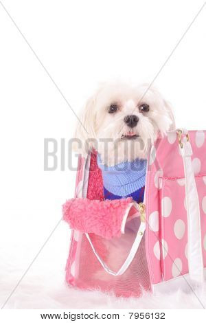 Maltese ready to go shopping