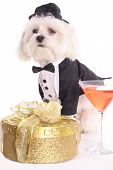 shot of a Maltese in tuxedo ready for party poster