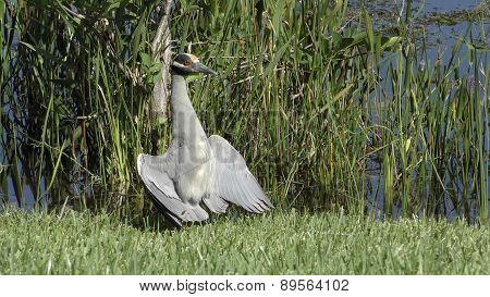 Yello Crowned Night Heron