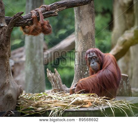 Tired Mother Orangutang Sleeping While Its Baby Playing Around
