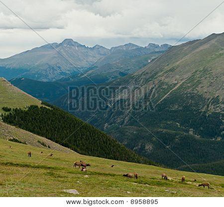 Elk Heard And Longs Peak
