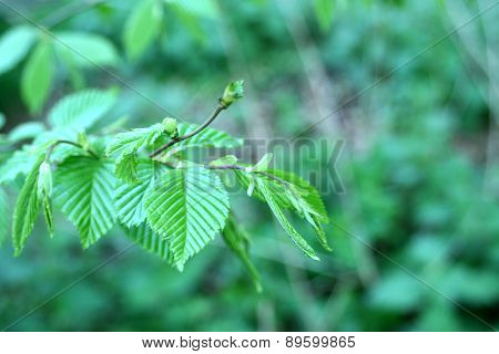 New Green Leaves Growing In Spring