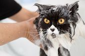 Bath or shower to a Persian breed cat poster