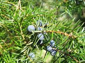Mellow berries of the common juniper (juniperus communis) poster