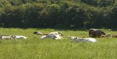cows lying down in field cattle livestock farm farming poster