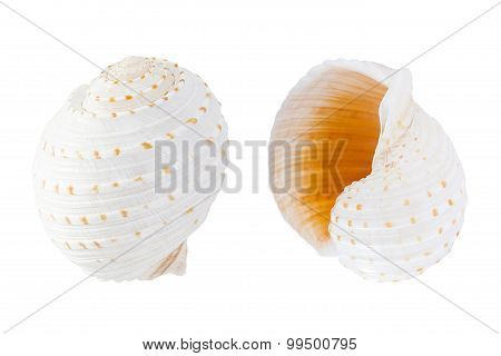 Mosaic Tun (tonna Tessellata) Shell