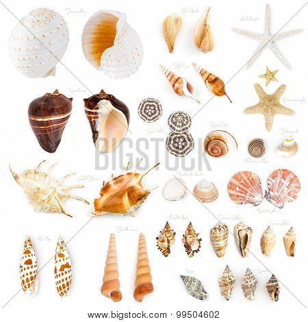 Seashell Collection Isolated On White