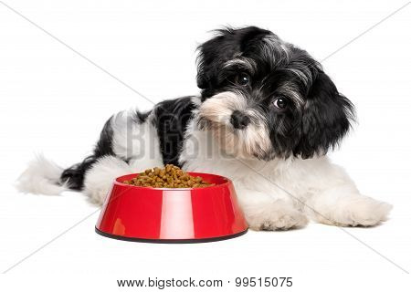 Cute Havanese Puppy Dog Is Lying Next To A Red Bowl Of Dog Food