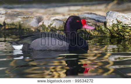Rosy-billed or rosybill pochard duck, netta peposaca