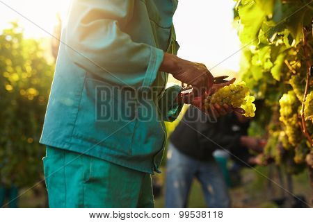 People Picking Grapes During Wine Harvest In Vineyard
