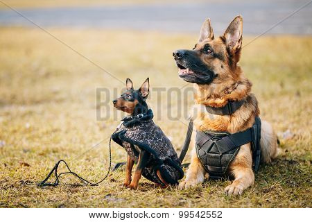 Brown German Sheepdog And Black Miniature Pinscher Pincher Toget