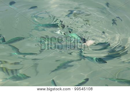School of fish feeding on bread