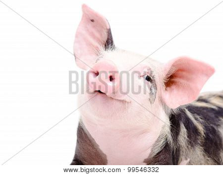 Portrait of funny cute piglet