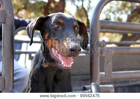 Young Doberman Pup, Trained Sniffer Dog, Drug, Narcotics And Explosives.