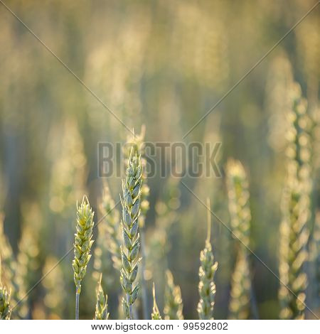 Common Wheat