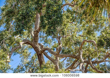 Massive Old Oak Limbs Against Sky